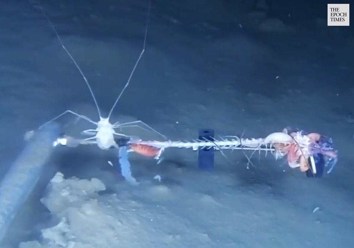 A Munnopsid feasts on a baitfish