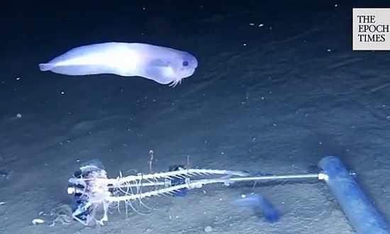Three New Species Discovered in the Depths of the Pacific