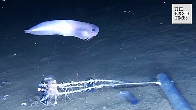 A potentially new species of snailfish swims over a baited arm nearly 25,000 feet deep in the Atacama Trench. (Newcastle University/Storyful screenshot)