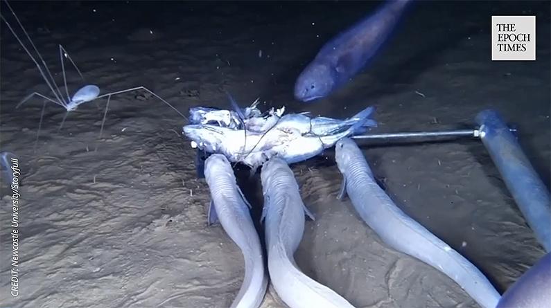Snailfish swarm over a baitfish