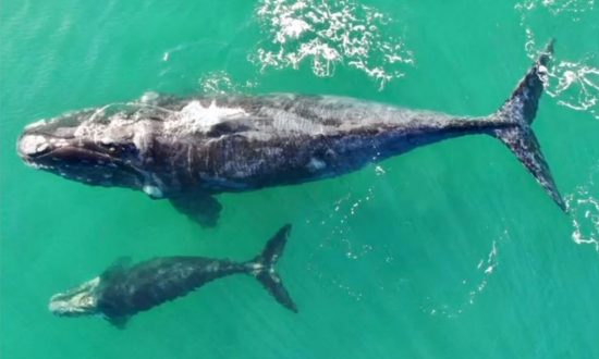 Whale and Calf Seen Off Chilean Coast