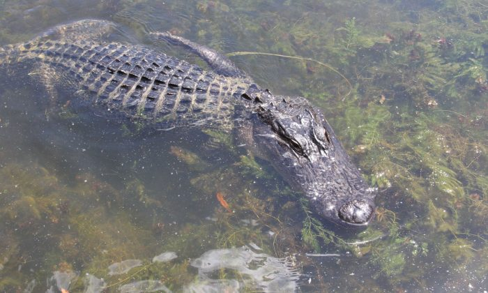 Woman Suffers Serious Injuries After Alligator Attack in Florida, Reports Say
