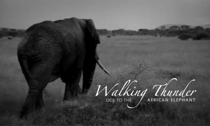An African elephant is seen walking in the film Walking Thunder. (Screenshot/Walking Thunder)