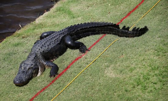 Texas Grandma Kills Massive Gator After Suspecting It Ate Her Miniature Horse