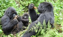Mountain Gorillas Come Back From Brink of Extinction, More Than 1,000 Left Now