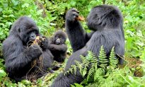 Bootless in Rwanda: Trekking Mountain Gorillas