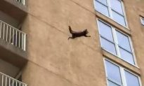 Video: Raccoon Climbs 9 Stories, Jumps to the Ground