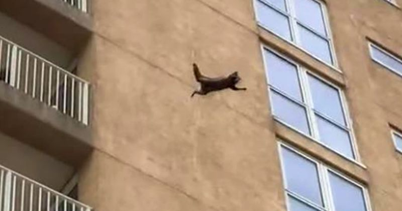 Raccoon scales apartment building before falling, running off