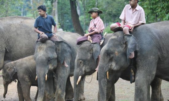 Chinese Medicine Demand is Depleting Asian Elephant Population in Burma