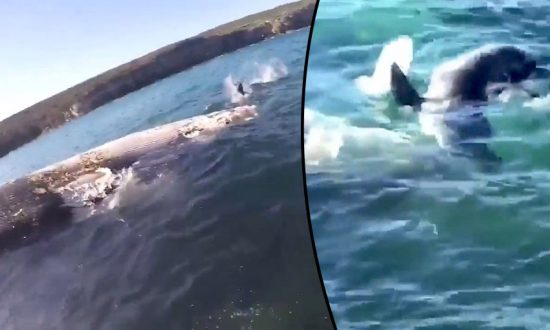 Great White Shark Feeding Frenzy on Whale Carcass at Australia Beach