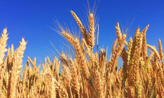 9 Impressive Health Benefits of Barley