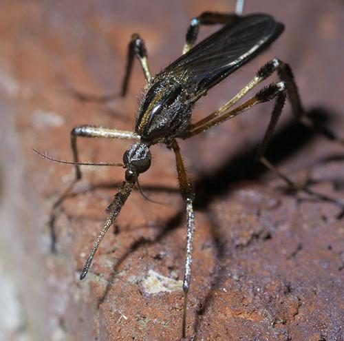 Psorophora ciliate mosquito