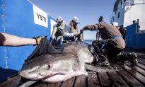 Celebrity Shark Arrives in Newfoundland