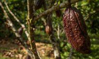 Ecuadorean Discovery Pushes Back the Origins of Chocolate