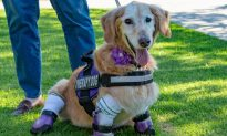 Quadruple Amputee Golden Retriever Wins American Hero Award