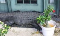 Giant Alligator Shows Up on Louisiana Doorstep