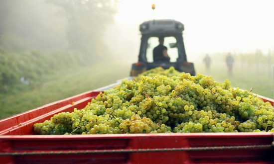Bumper Harvest Gives English Winemakers Extra Fizz