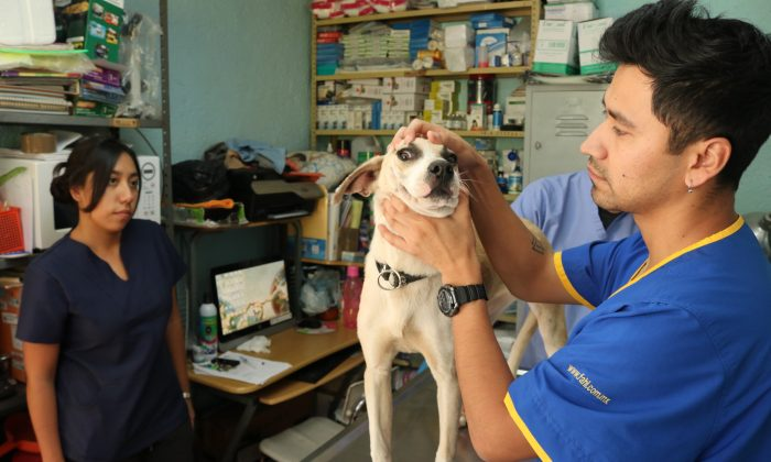 Veterinarian Jose Carlos Hernandez Trejo examines a rescued stray dog, Angie, at the Clinica Veterinaria Delegacional in Venustiano Carranza, Mexico City, Mexico, on Oct. 10, 2018. (Tim MacFarlan/Special to The Epoch Times)