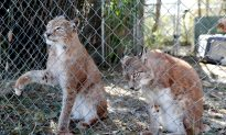 Florida Wild Cat Sanctuary Caught in Hurricane's Path