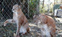 Florida Wild Cat Sanctuary Caught in Hurricane's Path