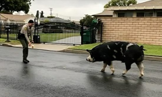Police Reached for Doritos to Lure Lost Pig Home