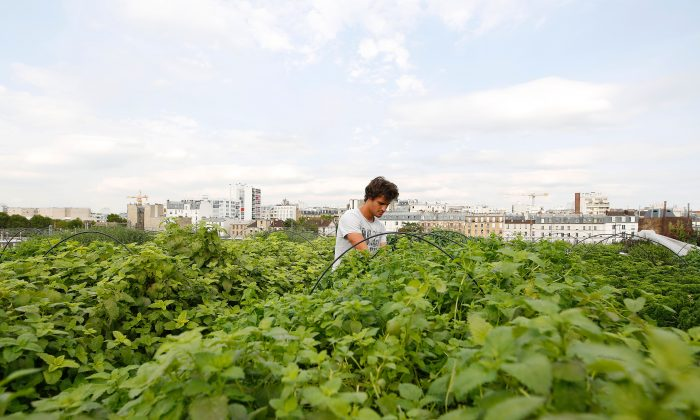 An employee of urban farming startup Aeromate checks on vegetables and aromatic herbs growing on the rooftop of a building owned by French public transport group RATP as part of a rooftop farming project in Paris, on Aug. 24, 2017. (Benjamin Cremel/AFP/Getty Images)
