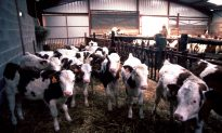 'Mad Cow Disease' Confirmed On Farm In Scotland