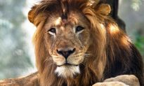 Female Lion Kills Male Lion and Indiana Zoo: Reports