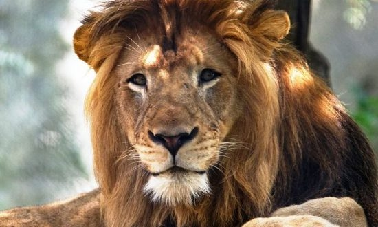 Female Lion Kills Male Lion in Indiana Zoo: Reports