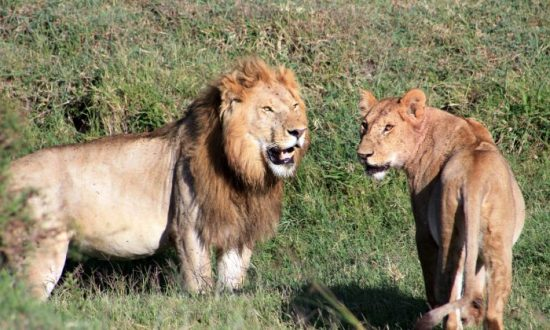 lion breaks out of enclosure kills 22 year old woman in north