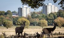 Young Girl Gored By Stag in London Park, Taken to Hospital