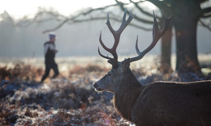 A deer stands among the bracken as a jogger runs past on Richmond Park, London, on Dec. 28, 2017. (Jack Taylor/Getty Images)