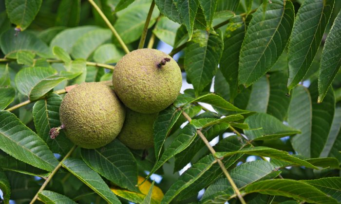 Black walnuts fall in a husk that starts hard and green, turns soft and black, and then dries out and rots away. (Shutterstock)