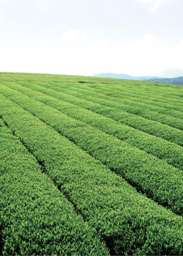 Green tea plantation in Haenam South Korea