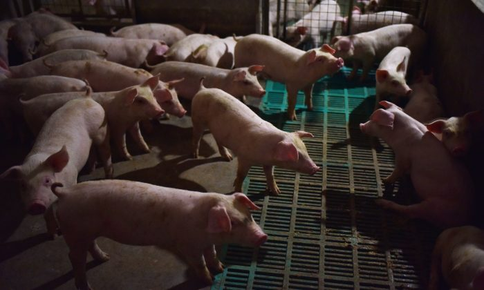 Piglets at a pig farm in Yiyang County, Henan Province, China, on August 10, 2018. (GREG BAKER/AFP/Getty Images)