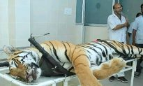 Man-Eating Tiger Shot and Killed in India; Lured With Calvin Klein Cologne
