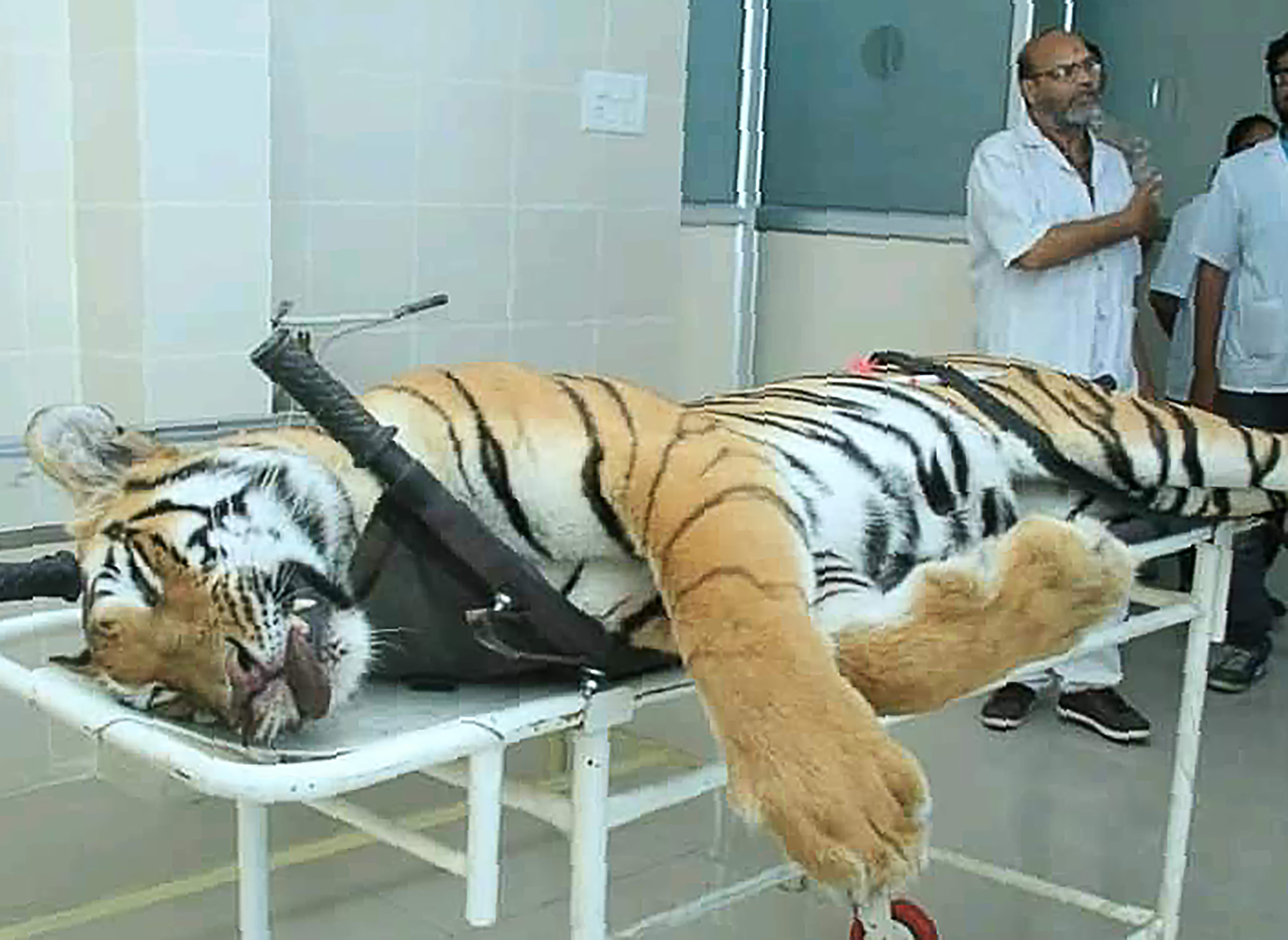 Man Eating Tiger Shot And Killed In India Lured With Calvin Klein