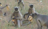 Indian Jeweler Feeds Over 500 Langurs, Calls Them Family