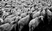 Vaccines Induce Bizarre Anti-Social Behavior in Sheep
