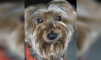 19-Year-Old Yorkshire Terrier Retires From 'The Nutcracker'