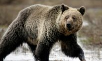 Woman and Infant Daughter Mauled to Death by Grizzly Bear in Canada