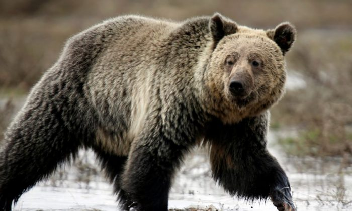 A grizzly bear roams through the Hayden Valley in Yellowstone National Park in Wyoming, on May 18, 2014. (Jim Urquhart/Reuters File Photo)