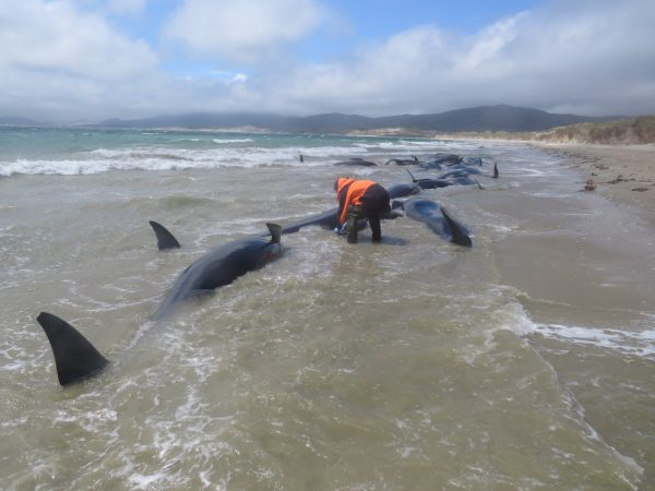 pilot whales stranded in New Zealand