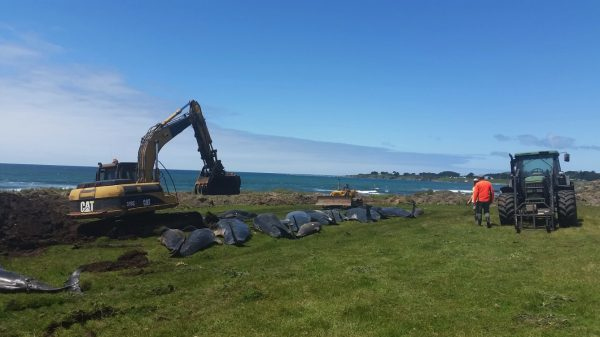 dead pilot whales are buried