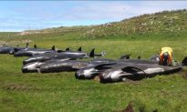 Another 50 Pilot Whales Die in Mass Stranding Near New Zealand