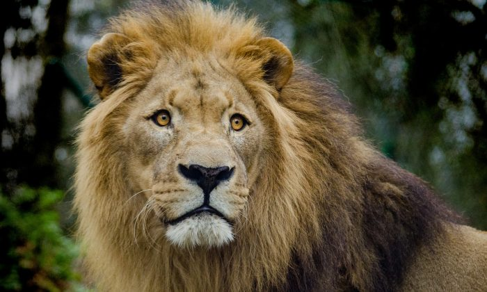 An undated file image of a lion. (Pixabay)