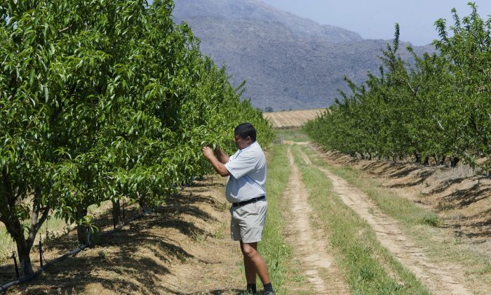 Trevor Abrahams checks on nectarine trees on his farm on Oct. 10, 2011, close to Ceres, South Africa. Abrahams, an emerging farmer, has received mentorship, support, and funding from an established local farmer, to get to the point of having a productive fruit farm. (Rodger Bosch/AFP/Getty Images)