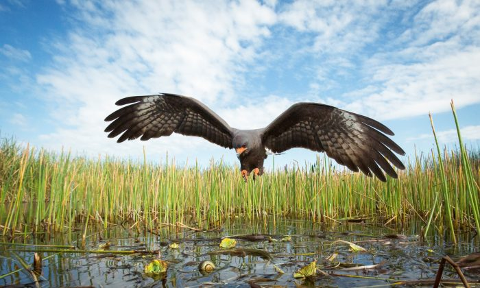 A snail kite hunts for apple snails in the Florida Everglades. The Everglades snail kite is the most specialized raptor in the world, and was also one of Mac Stone's most challenging subjects. (Mac Stone)