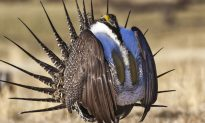 Interior Department Proposes Looser Protections for a Bird, to Boost Drilling, Mining