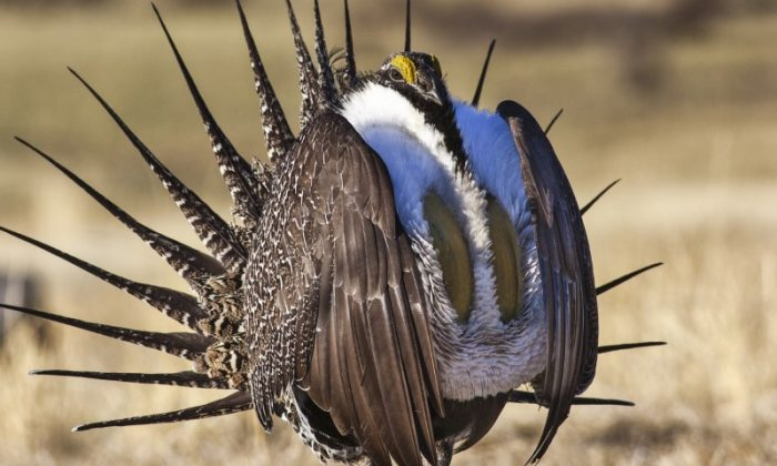 U.S. Bureau of Land Management photo shows a sage grouse in this undated photo. (Bob Wick/BLM/Handout/Reuters)